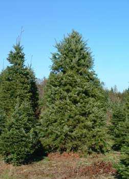 Псевдотсуга Мензиса, деревья, голубое небо