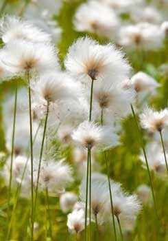 цветы, пушица