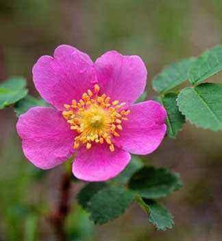 розовый цветок, шиповник
