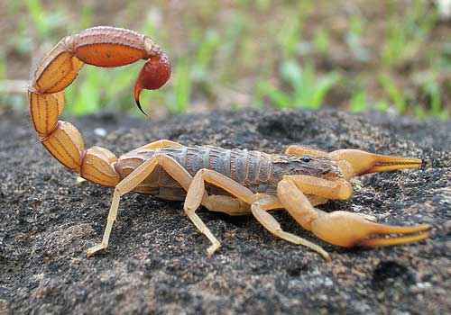 скорпион, камень