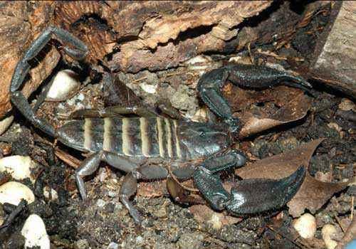 скорпион, паукообразные,