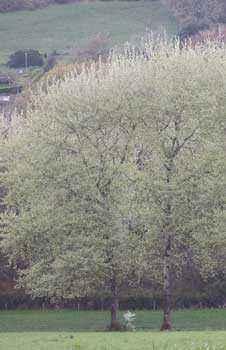белый тополь, деревья