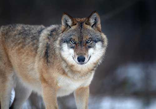 волк, серый волк, обыкновенный волк