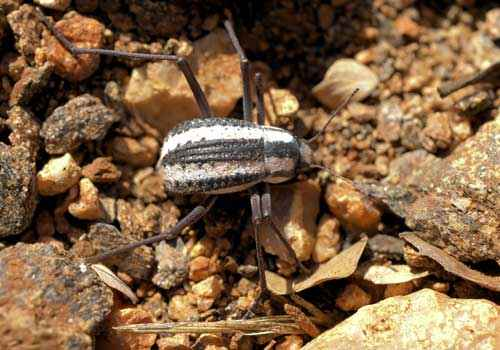 Жук, Stenocara gracilipes, из пустыни Намиб