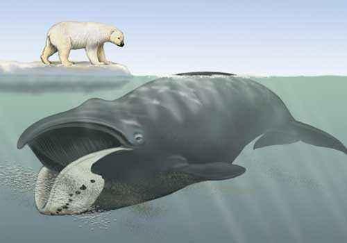 полярный кит, гренландский кит, белый медведь, рисунок