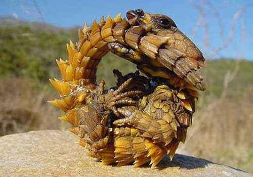 молох, тернистый дракон, тернистый дьявол, колючая ящерица, песок, скрученная ящерица, пустыня