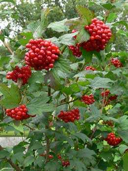 клюква, куст, красные ягоды
