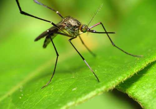 комар, зеленый лист