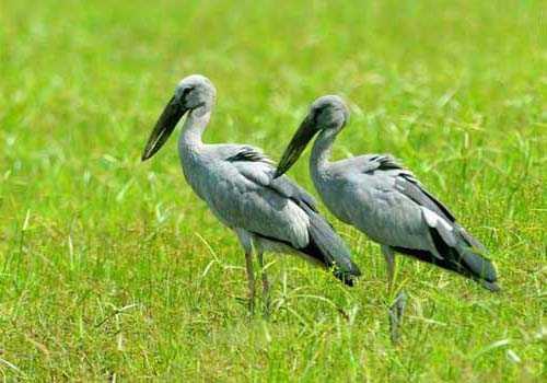 аисты, пара, трава, птицы,