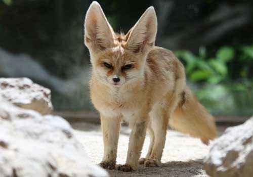 лисица, лиса, фенек, большие уши