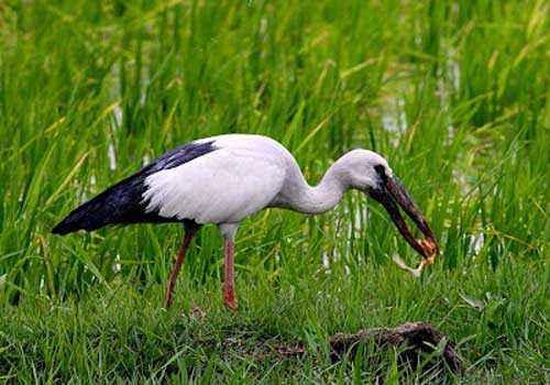 аист-разиня, с добычей, болото, трава, вода, птица