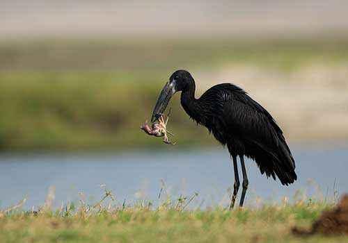 африканский аист-разиня, краб, добыча, корм, черная птица, вода, трава