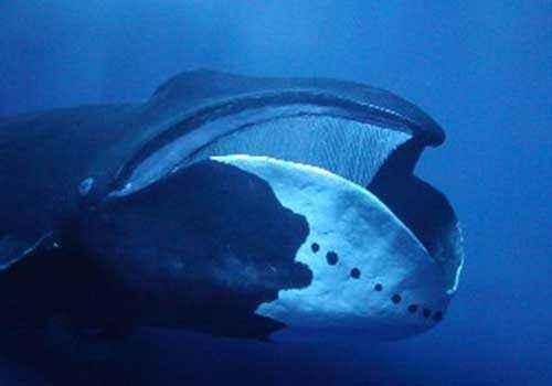 гренландский кит, полярный кит, пасть, питание