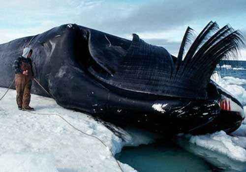 гренландский кит, полярный кит, мертвый кит, человек
