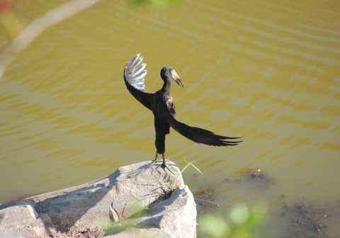 птица, камень вода, взмах крыльев, аист-разиня,