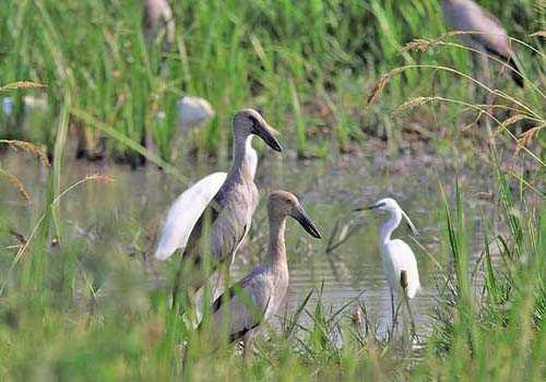 аисты-разиня, вода, трава, болота, птицы,