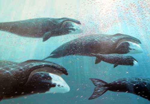 гренландские киты, полярные киты, стая