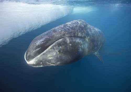 гренландский кит, полярный кит, лед