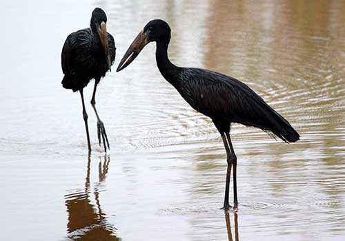 африканские аисты-разиня, две птицы, черные птицы