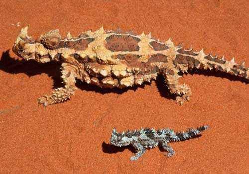 молохи, тернистые драконы, тернистые дьяволы, колючие ящерицы, красный песок, пустыня