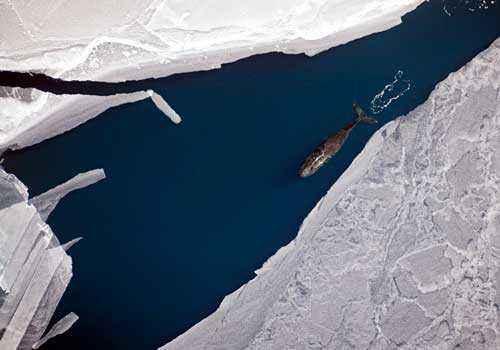 вид с воздуха, океан, льды, полярный кит, гренландский кит,