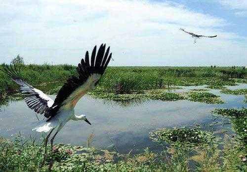 дальневосточные белые аисты, болото, вода, камыш, полет, среда обитания