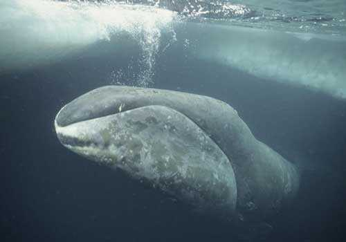 полярный кит, гренландский кит, подо льдом,
