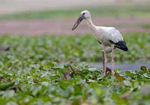 среда-обитания-индийского-аиста-разиня