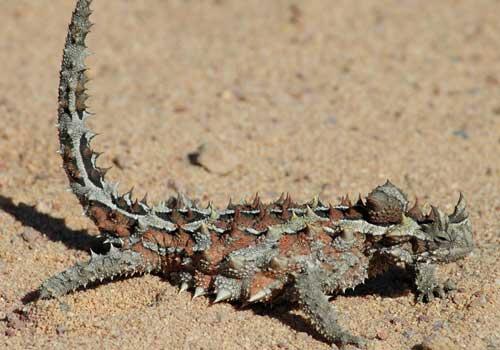 молох, тернистый дракон, тернистый дьявол, колючая ящерица, песок, пустыня