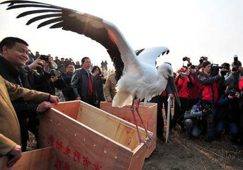 китайский аист, защита, охрана, люди, полет, воля