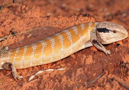 животные, большая песчаная пустыня, Австралия, рептилия, ящерица, красный песок