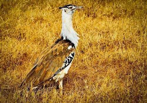 Фото: Африканская большая дрофа