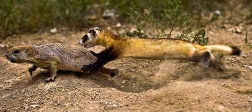 Американский хорёк во время охоты на луговую собачку