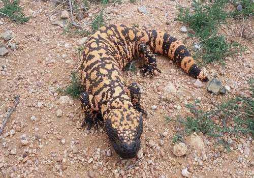 Аризонский ядозуб, ящерица, рептилия