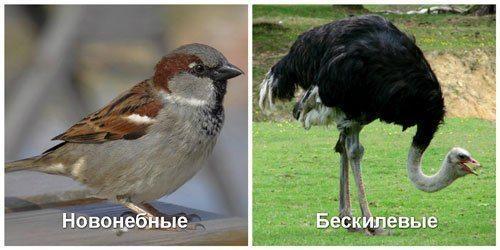 Бескилевые-и-Новонебные-подклассы-птиц