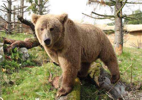 Бурый медведь, хищник, млекопитающее, трава, деревья, небо