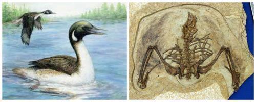 Gansus - вид ископаймых птиц
