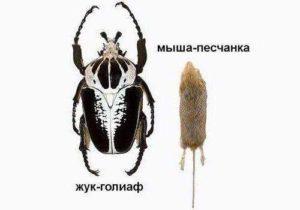 Какое насекомое самое крупное на Земле? 5