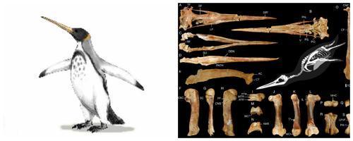 Icadyptes salasi-вид древних гигантских пингвинов