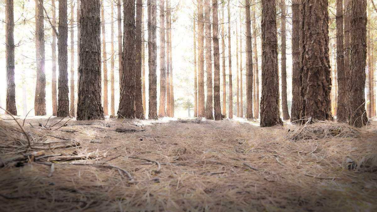 сосны, деревья, лес, рассвет, лучи солнца
