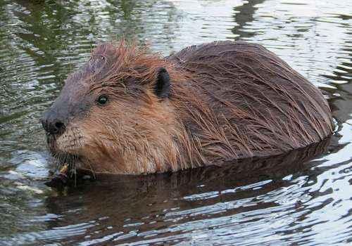 Канадский бобр, в воде, грызун, млекопитающее