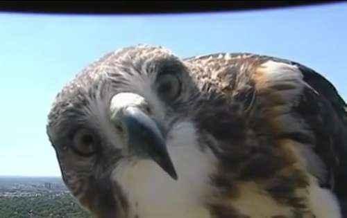 ястреб, камера, птица, смотрит, изучает