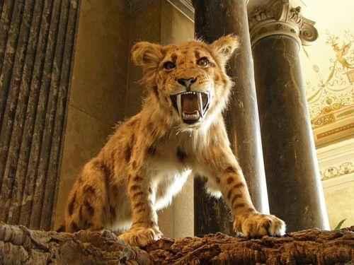 Мегантереон — род саблезубых кошек