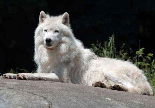 Мелвильский островной волк, арктический волк, хищник, млекопитающее,