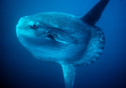 Фото: Обыкновенная луна-рыба