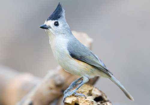 Острохохлая синица, птица,