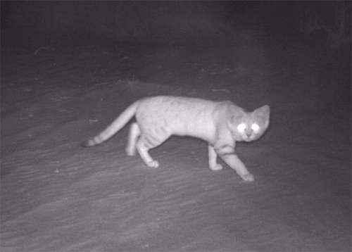 Песчаный кот, барханный кот, барханная кошка, ночная съемка