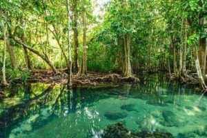 мангровый лес, мангровые заросли, мангровые растения, мангровые деревья