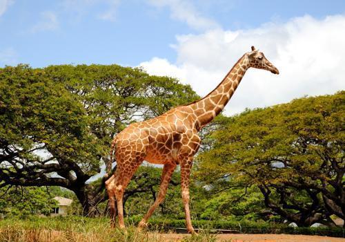Самое высокое наземное животное - жираф