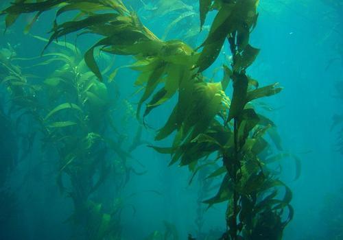 Фото: водоросли Macrocystis pyrifera